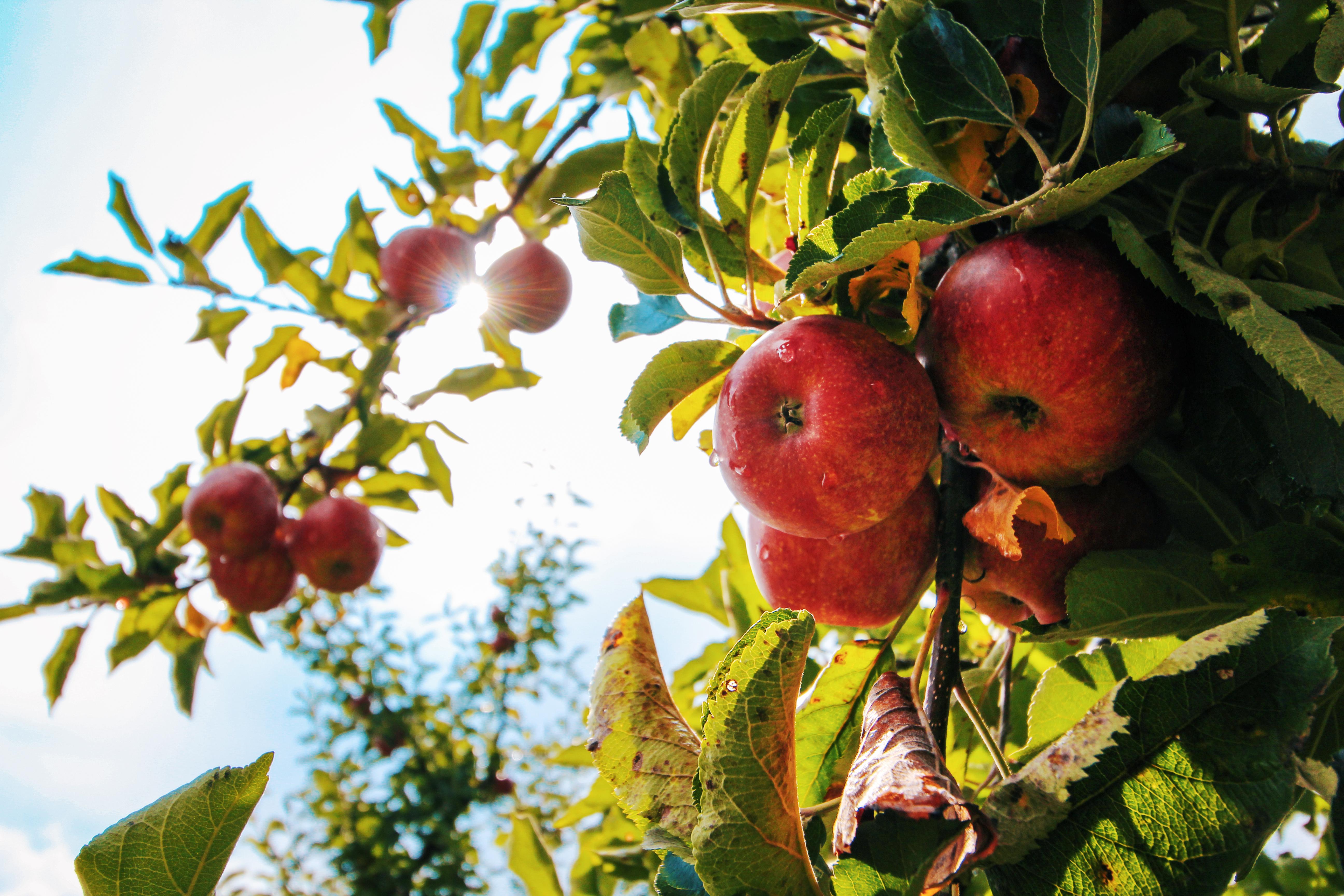 Mise de Fruits @ Place de la Grande salle, mise aux enchères de la production des arbres fruitiers communaux